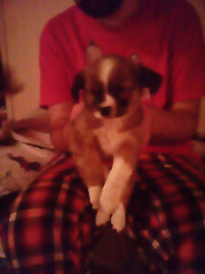 CHIHUAHUA / JACK RUSSELL PUPPIES 4 SALE