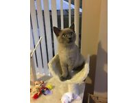 British blue cross kitten 18 weeks