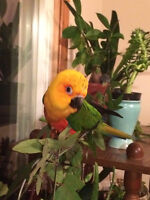 Beautiful Jenday Conure
