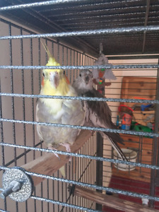 Cockatiels and big cage for sale.