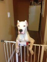 Dogo Argentino Rehome