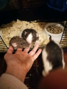 4 friendly rats for free to a good home