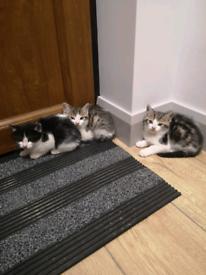 Beautiful tabby&white and black&white kittens