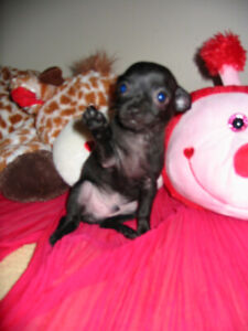 HAPPY VALENTINES DAY SPECIAL UP TO $150 off CHIHUAHUA PUPPIES