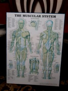 The Muscular System - Wall Board 40x50cm