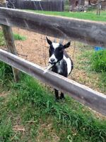 IM LOOKING FOR FEMALE PYGMY GOATS