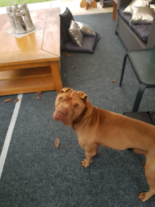 Schappe puppy - free to a good home | Dogs & Puppies