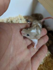 Fancy Mice for sale