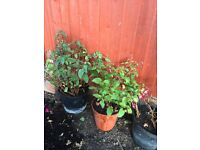 Garden fuchsia plant for sale