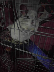 3 yr old Male Chinchilla for sale $190 or best offer