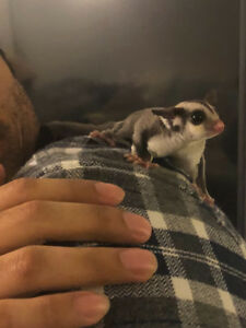 Playful and Adorable Baby Male Joey Sugar Glider
