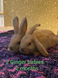 Baby rabbits - mixed breed
