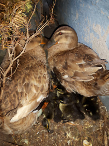 Day Old Ducklings, hatched October 1st 2018 Duckling, Baby Duck)