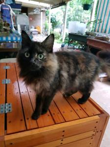 RAGDOLL X DOMESTIC FEMALE CAT