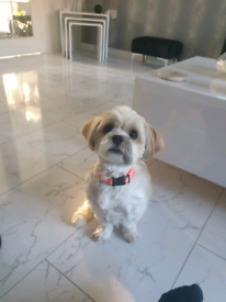Lhasa apso puppies KC registered