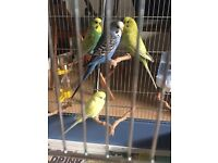 2 Male and 2 Female Budgie