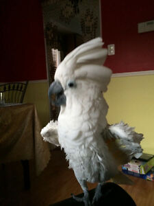 Female cockatoo for sale with cage and accessories