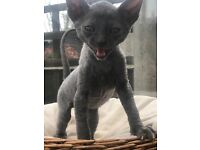 Cornish Rex kittens for sale