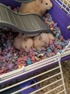 Baby hamsters in need of home