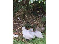 Chicken for sale lavender araucana trio
