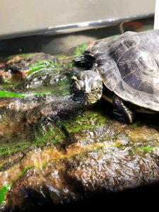 Young female river cooter