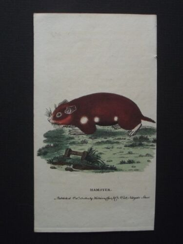 HAMSTER - ORIGINAL HARRISON CLUSE 1800 HAND COLORED COPPER PLATE ENGRAVING