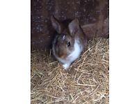 Gorgeous Male Dwarf Rabbit For Sale