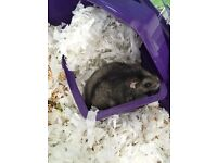 Russian dwarf hamster looking for new home