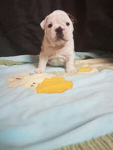 English Bulldog Kingbull Gatineau Ottawa / Gatineau Area image 4