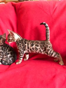 Tica Reg.  Leopard spotted Bengal kittens