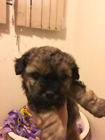 Shorkie (shihtzuh/yorkie) puppies for sale!!