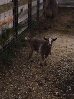 Fainting goat ( wither)