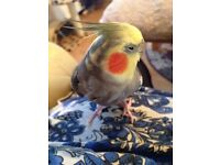 Missing Cockatiel