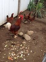 Bantam chickens for sale