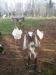 Male and female pure breed nubians