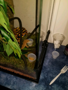 Crested Gecko and accessories