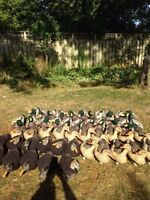 Duck decoys dakota extreme mallard floaters