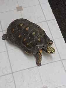 Adult Tortoise 4 Sale Windsor Region Ontario image 3
