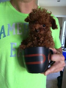 Caniche TEA CUP 2 livres adulte poodle red rouge CKC