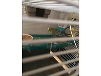 Male budgie for sale