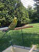 Budgie & Cage