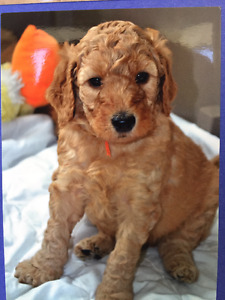 Golden Doodle X Standard Poodle puppies looking for forever home