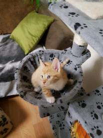 2 Girl Tabby Ginger Kittens