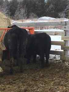 Angus Cow For Sale Peterborough Peterborough Area image 3