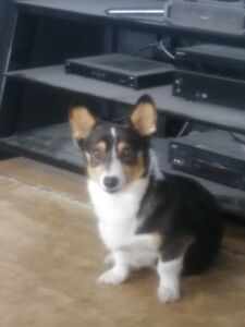 Registered Pembroke Corgis
