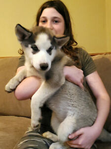 Family raised blue eyed Siberian husky puppies