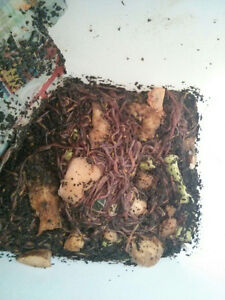 Compost Worms. composting. red wigglers. vers Eisenia fetida West Island Greater Montréal image 8