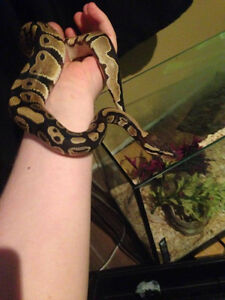 female baby ball python full setup