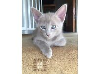 Gorgeous Siamese Cross X Kittens - Black / Lilac / Blue (£130-£300)