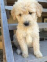 Creamy gold doodles ready this weekend - no allergy/shed